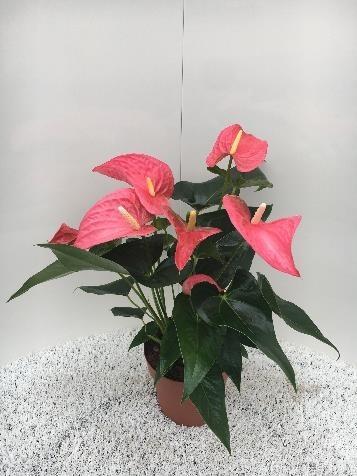 Anthurium-Andreanum-Hybr. T 17 (rosa) 'Maine'