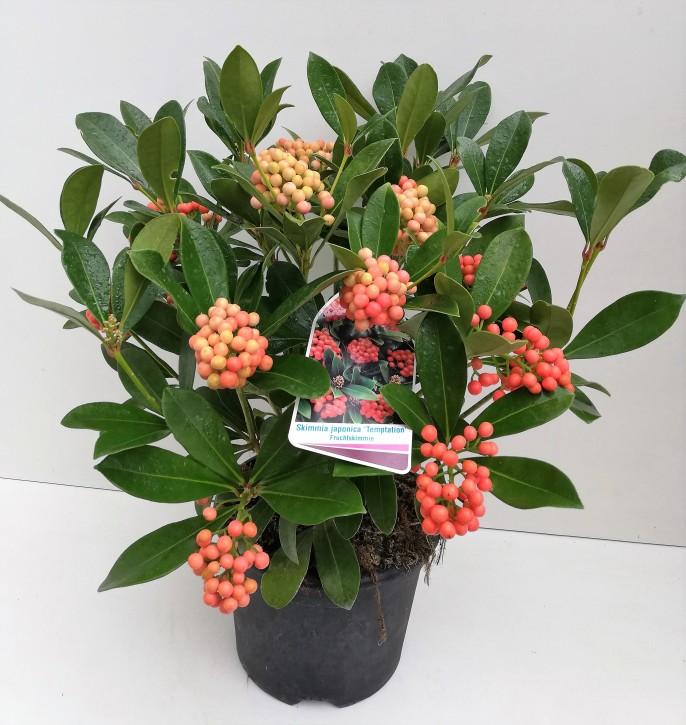 Skimmia japonica 'Temptation' T 23 (13+ Dolden m.Beeren)