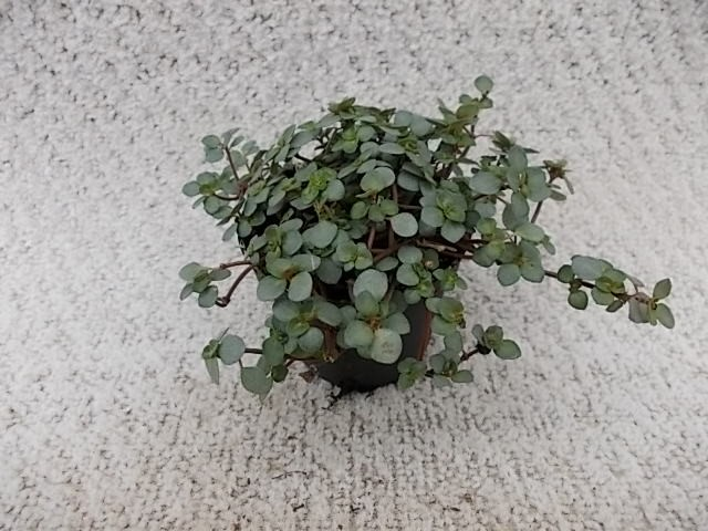 Pilea nummulariifolia 'Glauca Greyzy' T 5,5 MINI