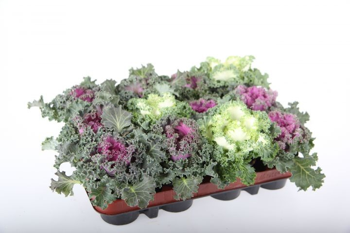 Brassica oleracea T 9 MIX
