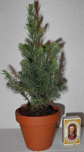 Picea glauca 'Conica'  20-25 cm   T 9