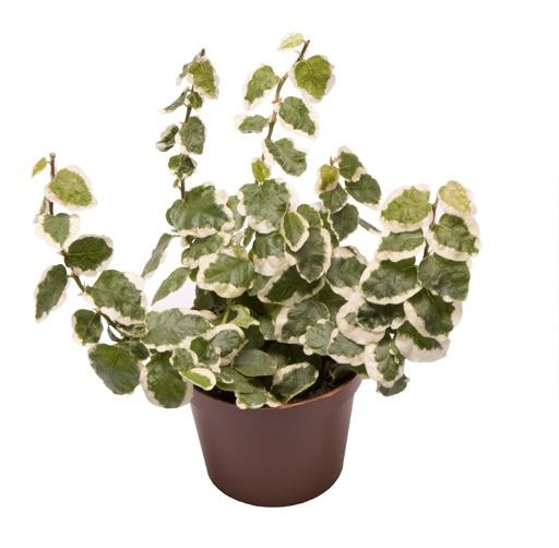 Ficus pumila T 6 'Bellus' MINI