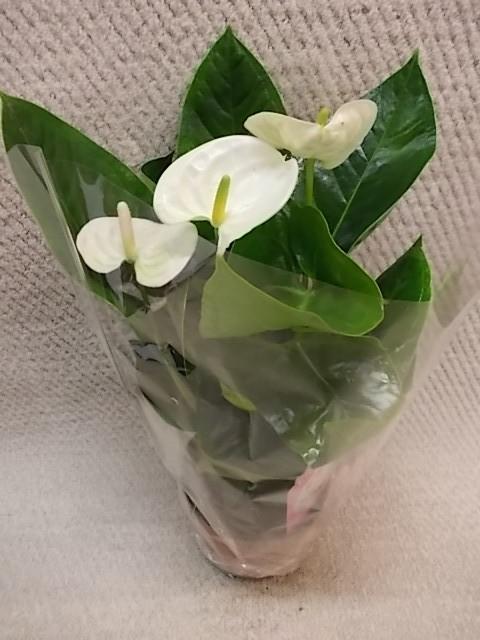Anthurium-Andreanum-Hybr.T 14 (weiß) 'Sierra White' • VE 7