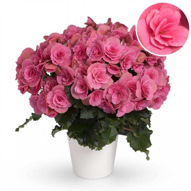 Begonia-Elatior-Hybriden T 13 'Berseba' (pink)