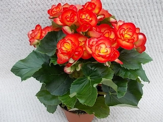 Begonia-Elatior-Hybriden T 13 'Carneval' (gelb-rot)