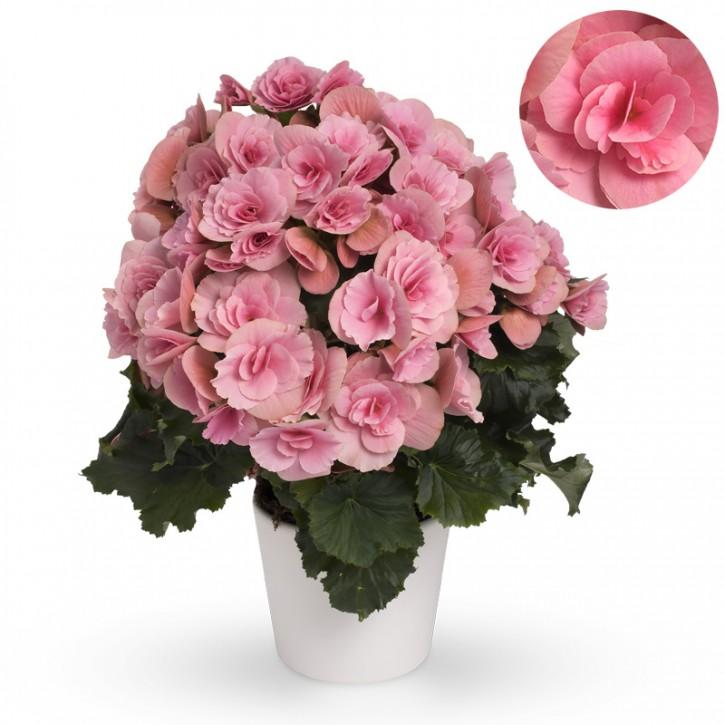 Begonia-Elatior-Hybriden T 13 'Berseba Lightpink' (rosa)