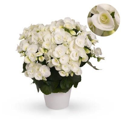 Begonia-Elatior-Hybriden T 13 'Netja weiß'