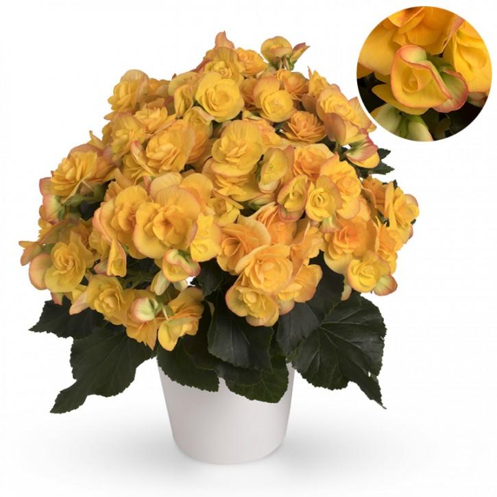 Begonia-Elatior-Hybriden T 13 'Revita' (gelb)