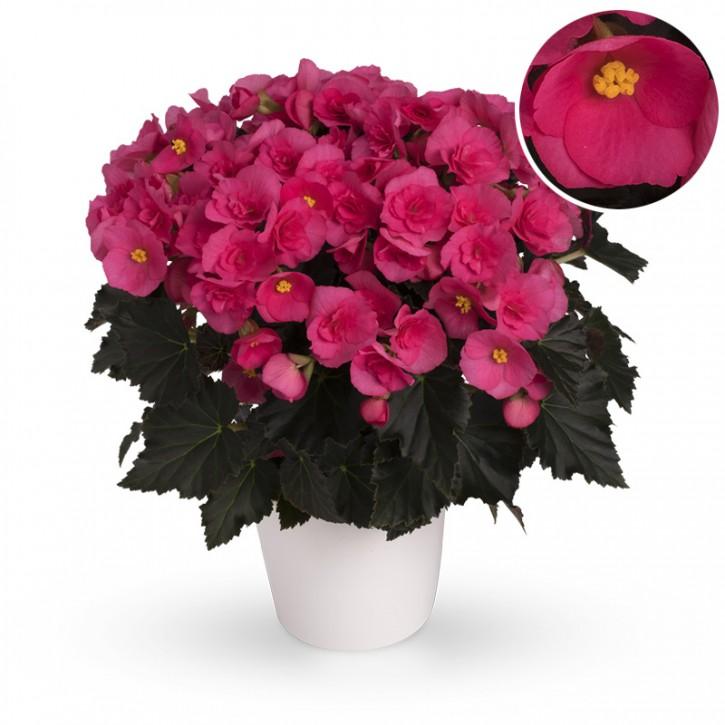 Begonia-Elatior-Hybriden T 13 'Adonia Pink' (dunkellaubig) • VE 6