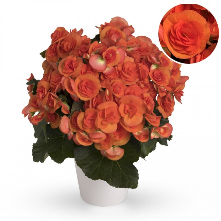 Begonia-Elatior-Hybriden T 13 'Reina' (dunkelorange)