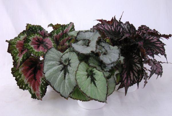 Begonia-Rex-Hybriden T 12 Mix