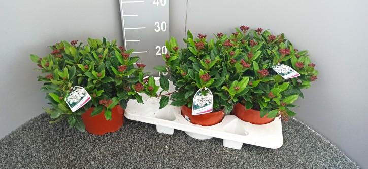 Viburnum tinus T 19