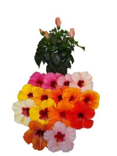 Hibiscus rosa-sinensis T 13 LongiFlora (3 - 5 Tr.) MIX