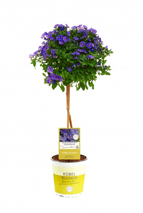 Solanum rantonnetii T 19 Stamm BLAU