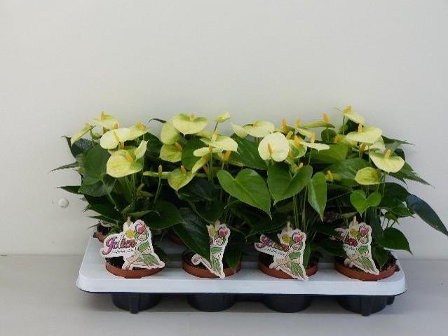 Anthurium-Andreanum-Hybrid T 10,5 (creme-gelb) 'Vanilla'