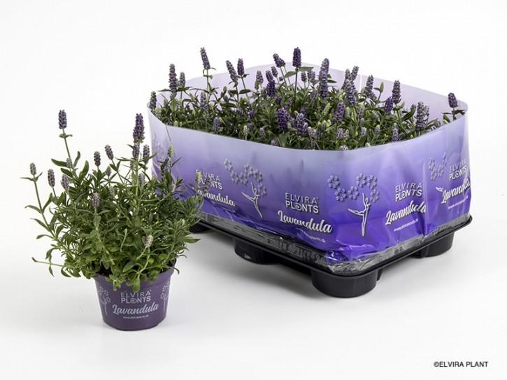 Lavandula angustifolia 'Hidcote Blue' T 10,5