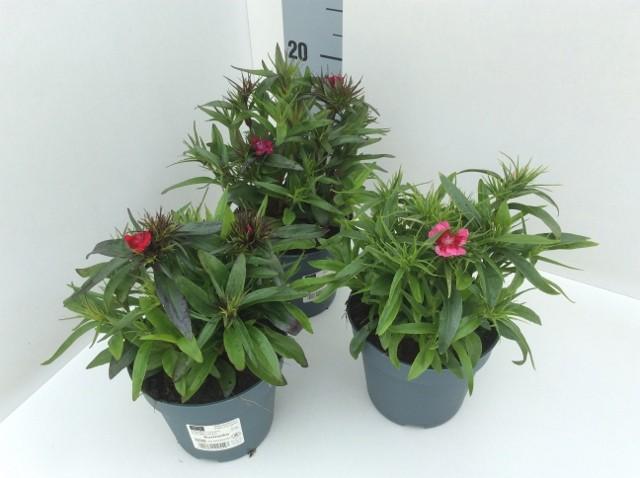 Dianthus barbartus 'Barbarini' MIX T 13