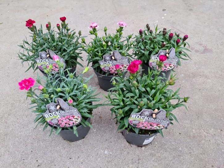 Dianthus caryophyllus 'Super Trouper' T 13 MIX