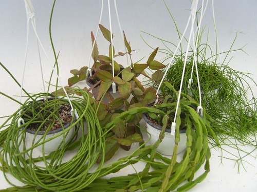 Rhipsalis T 14 Ampel Mix-Sortiment