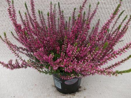 Calluna vulgaris T 12 GardenGirls® ROT