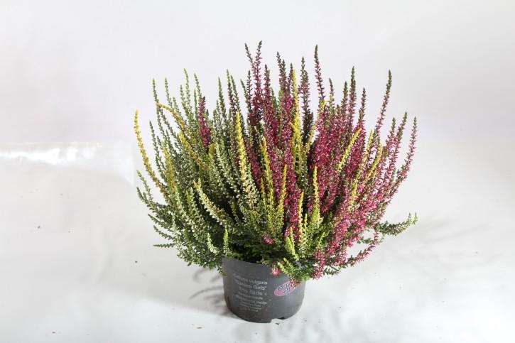 Calluna vulgaris T 12 GardenGirls® TRIO