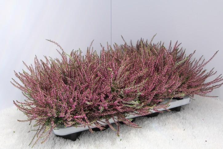 Calluna vulgaris T 11 'Marlies' (purpurrot)