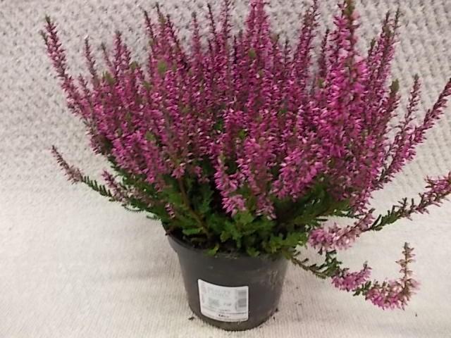 Calluna vulgaris T 12 GardenGirls® LILA