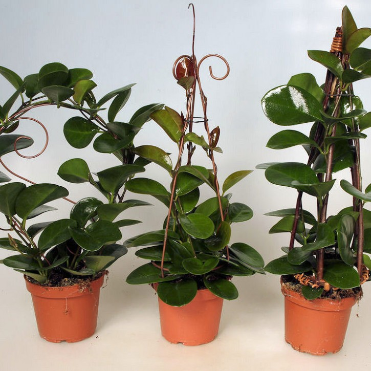 Hoya carnosa 'Australis' T 12 Formen-Mix
