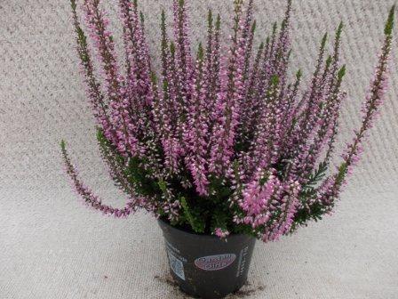 Calluna vulgaris T 12 GardenGirls® ROSA