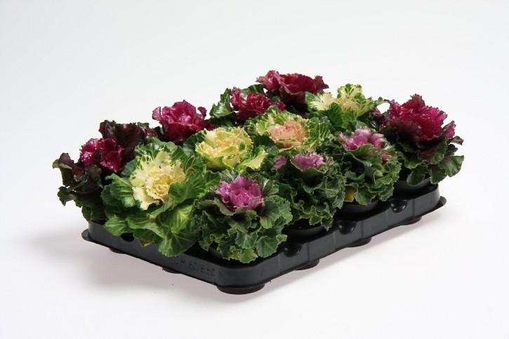 Brassica oleracea T 6 MINI Mix