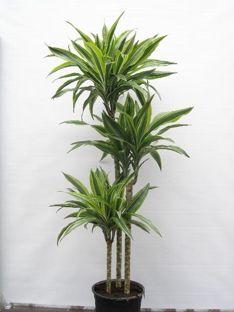 Dracaena deremensis   'Lemon Line'   T 24  (90/60/30)   140 cm