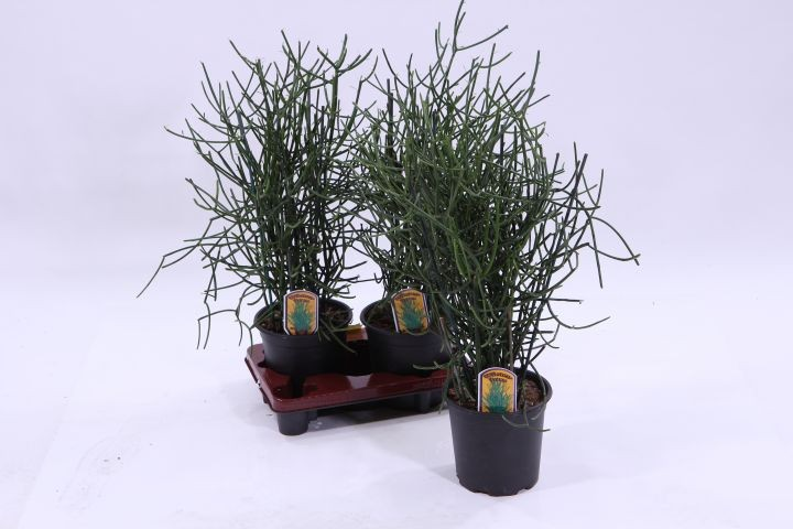 Euphorbia tirucalli T 19