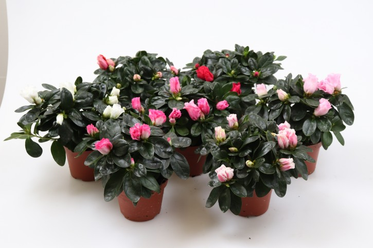 Rhododendron simsii  T 12 (22,5 - 25) MIX