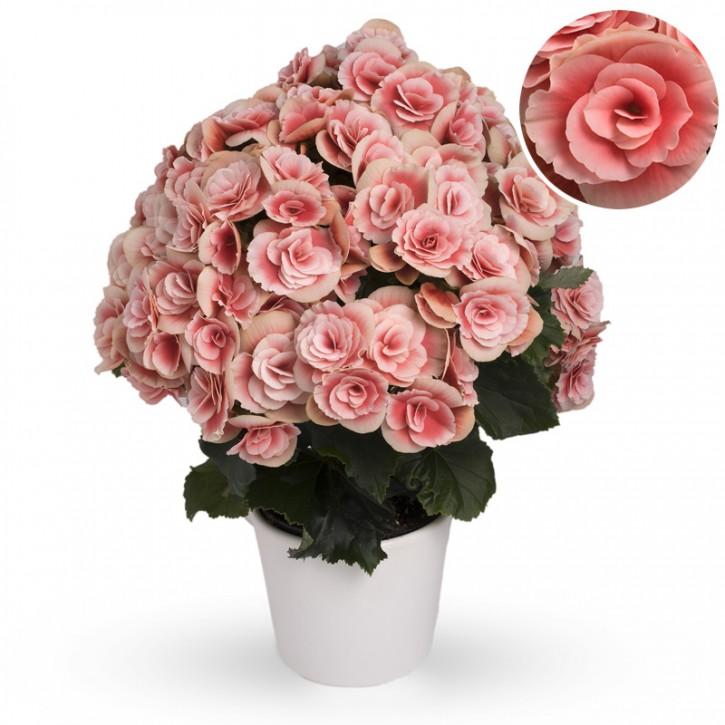 Begonia-Elatior-Hybriden T 13 'Borias' (rosa-weiß) • VE 6