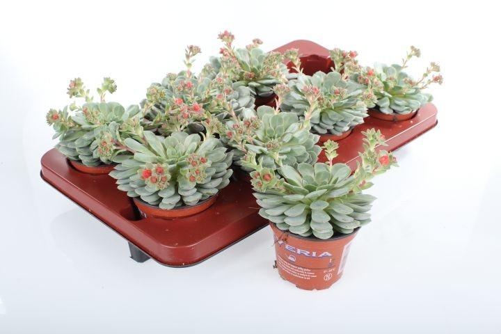 Echeveria 'Dondo' T 11 (5/+ Blüten)