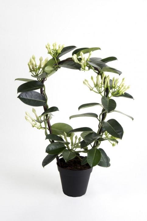Stephanotis floribunda T 12 Naturbogen (7-8 Knospen)