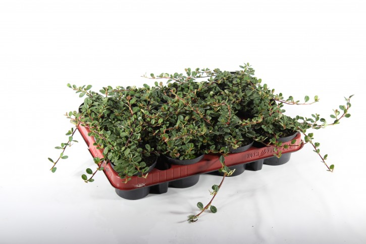 Cotoneaster microphyllus 'Streibs Findling' T 9
