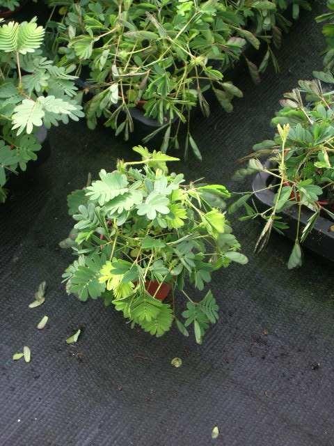 Mimosa pudica T 6 MINI