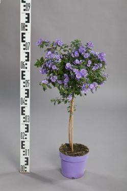 Solanum rantonnetii T 17 Stamm BLAU 60 cm