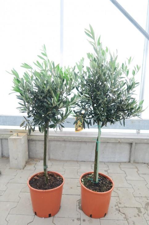 Olea europaea T 20 Stamm 95 cm