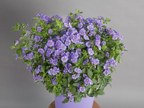 Solanum rantonnetii T 17 BLAU