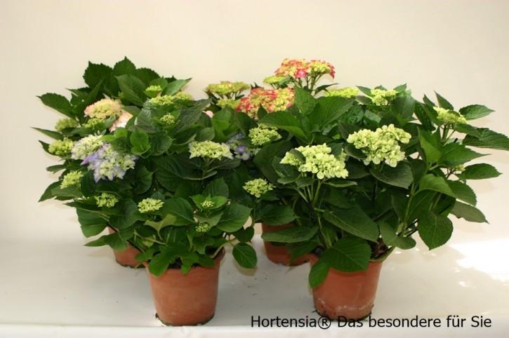 Hydrangea macrophylla T 19 BLAU (8-9 Dolden)