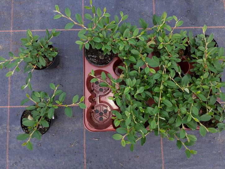 Cotoneaster dammeri var. radicans T 9