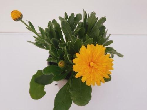 Calendula officinalis 'Powerdaisy Sunny' T 12