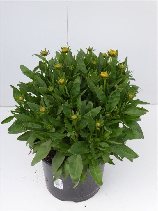 Coreopsis grandiflora T 19