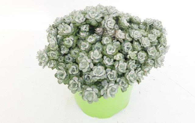 Sedum spathulifolium 'Cape Blanco' T 13
