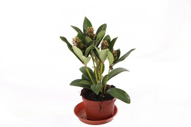 Skimmia japonica 'Rubella' T 10 (5+ rote Dolden)