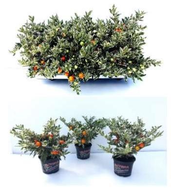 Solanum pseudocapsicum   'Roja'   T 12  BUNTLAUBIG