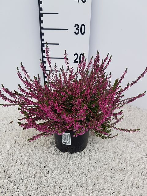 Calluna vulgaris T 13 'Marlies' (rot)