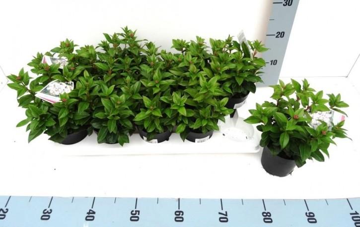 Viburnum tinus T 11